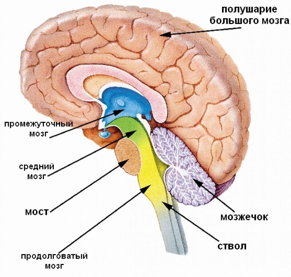 stroenie-golovnogo-mozga-risunok