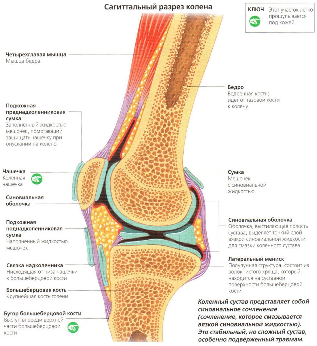 образовательные курсы WellFitness, сагиттальный разрез колена