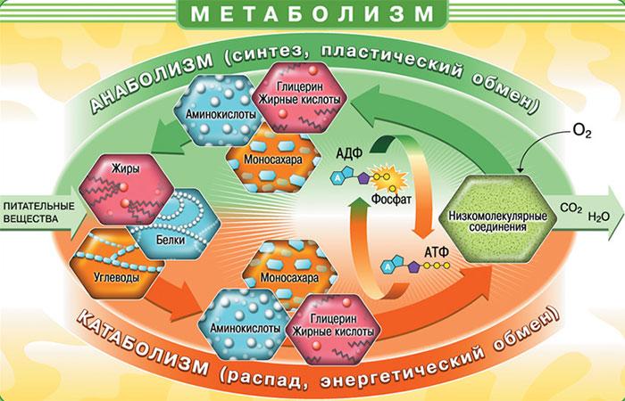 клетки метаболизма